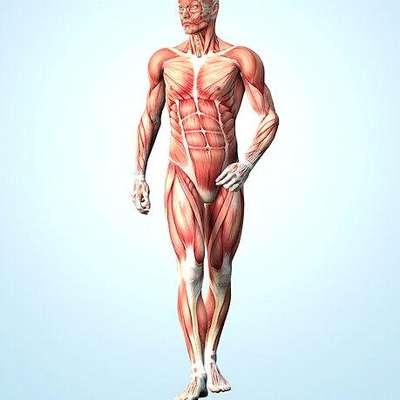 Muscular System Memrise