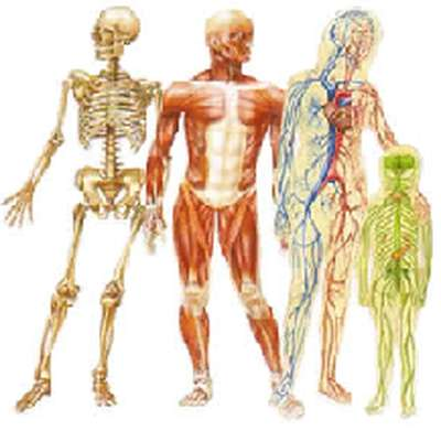 pe - the human body, pe, muscles of the body, bones of the body, Muscles
