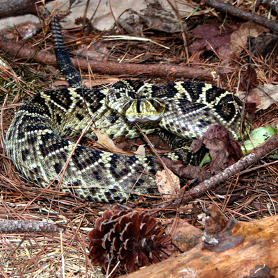 Venomous Snakes of Georgia