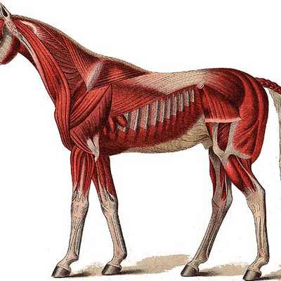 Horse muscles anatomy