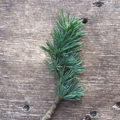 Plant Identification: Conifer Trees