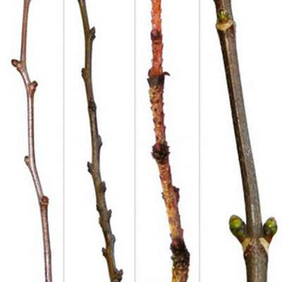 Plant Identification: Winter Twigs