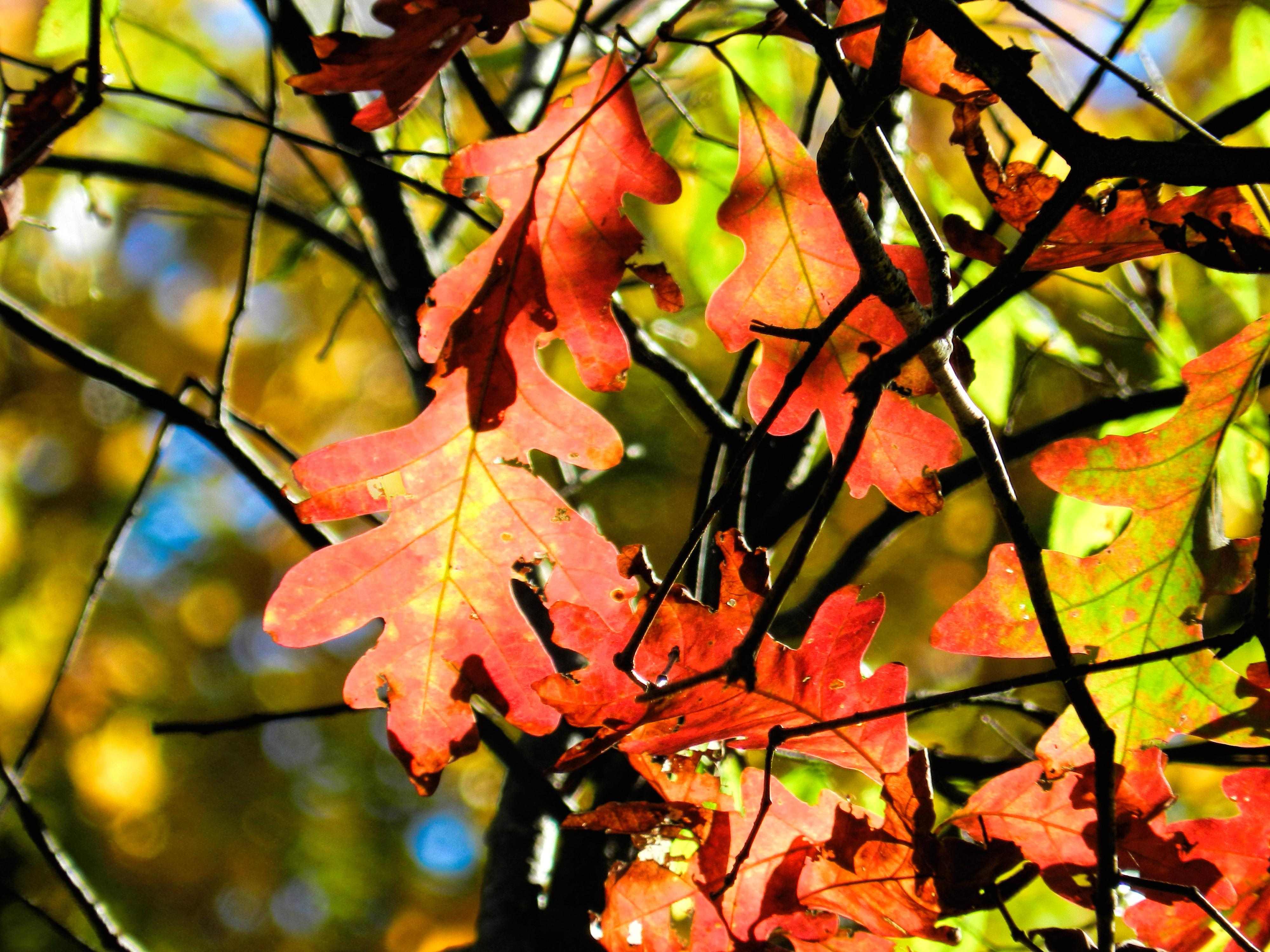 Trees of Britain ~ Leaves