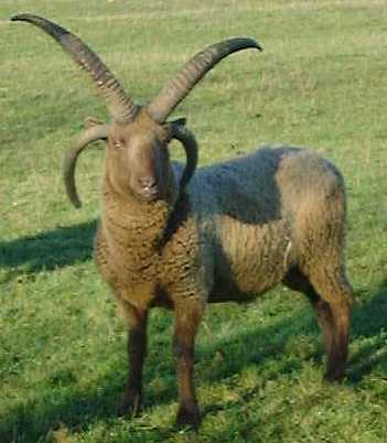 Sheep used in Conservation Grazing - KZM