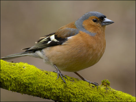 20 Common British Garden Birds