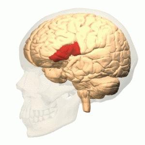 Human brain regions