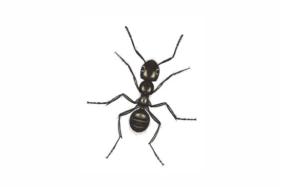 Displaying (17) Gallery Images For Black Ant...