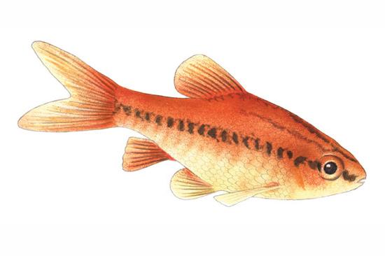 Level 2 guardian wallcharts memrise for Cherry barb fish