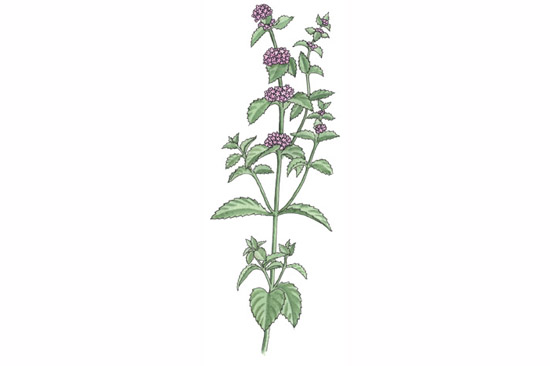 Peppermint Plant Drawing