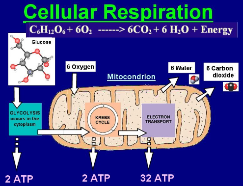 Photosynthesis and cellular respiration by shady falts on prezi ccuart Choice Image