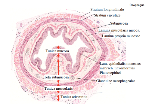 alveolar mucosa diagram a fun and easy way to remember ringmuskulatur