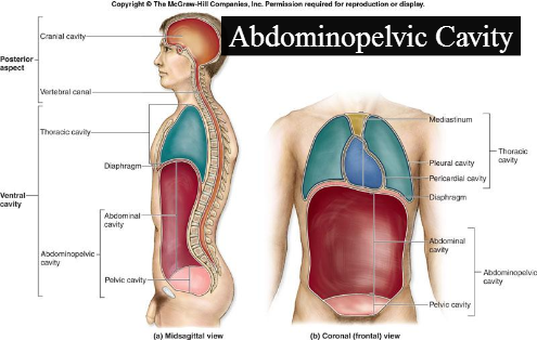 Digestive System Of Human Body Digestive System Overview Anatomy Physiology as well 2053041 together with Abdominopelvic Cavity moreover 6667784 likewise 13848541. on abdominopelvic cavity