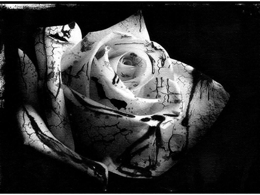 Black Rose And White Rose