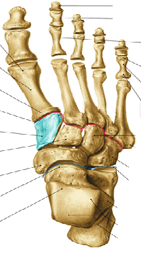 Level 5 - Gelenke, Knochenpunkte etc, - Memrise