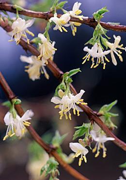 level 1 plant identification early spring plants memrise. Black Bedroom Furniture Sets. Home Design Ideas