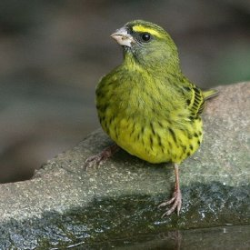 Green Canary Canaries