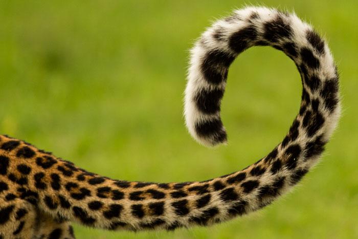 Картинки хвоста животного