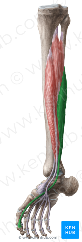 flexor digitorum brevis and longus, Cephalic Vein