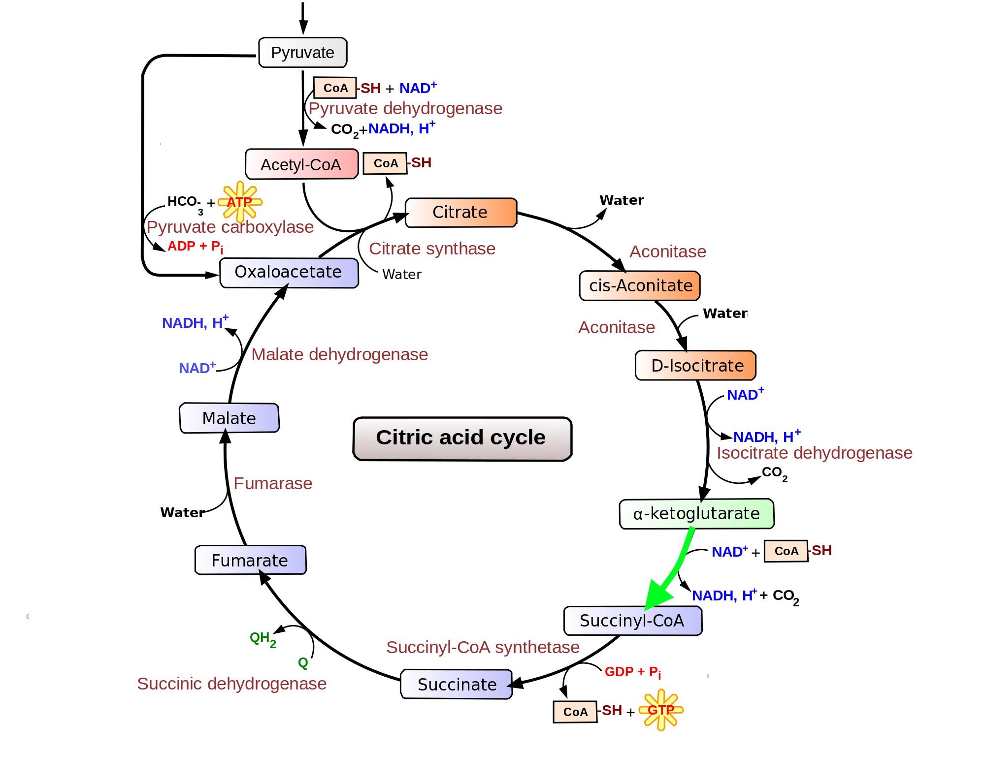 Alpha-ketoglutarate dehydrogenaseIsocitrate To Alpha Ketoglutarate