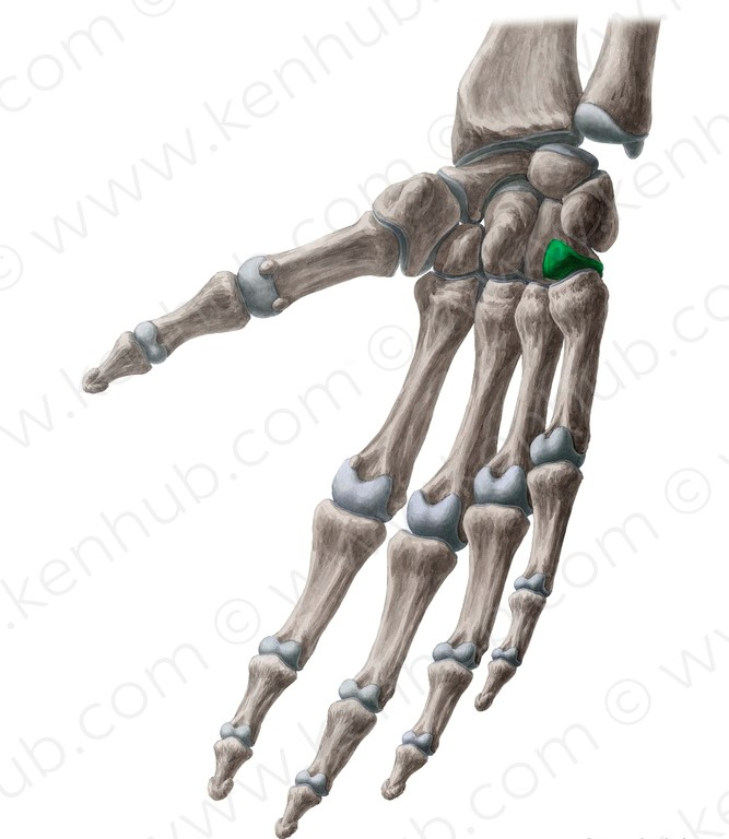 numbered metacarpals bone - 568×800