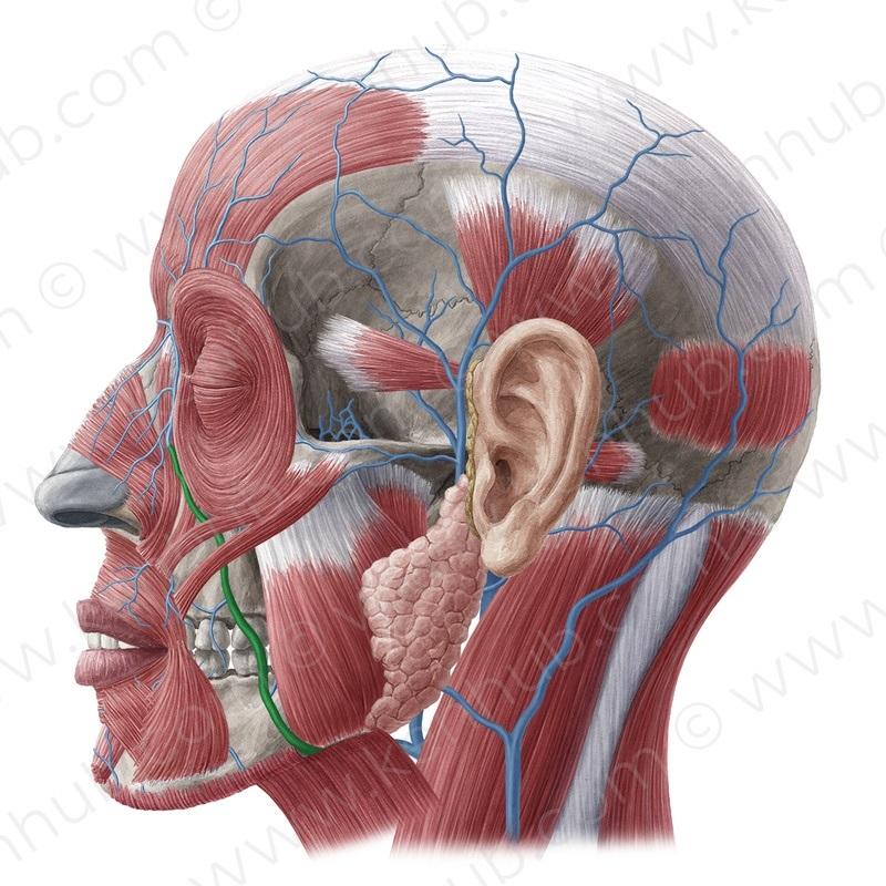vena brachiocephalica