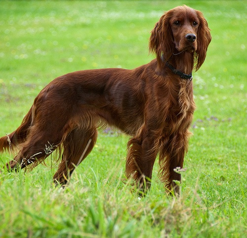 German Wirehaired Pointer History Level 19 - Hound Dogs ...
