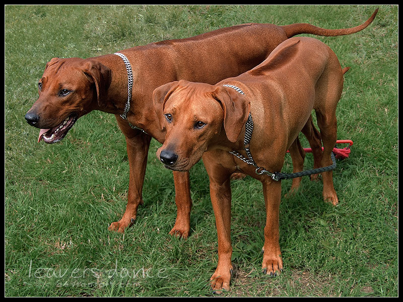 Level 2 - Dog Breeds & Common Cross-Breeds 1, - Memrise