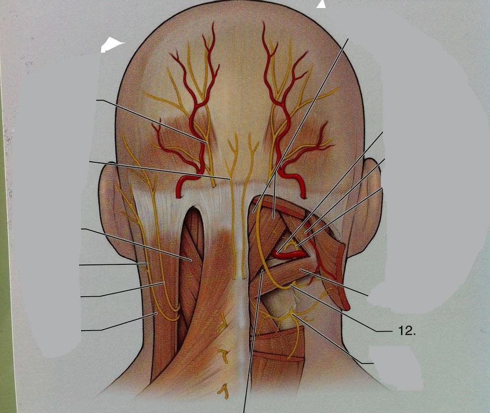 Greater occipital nerve anatomy