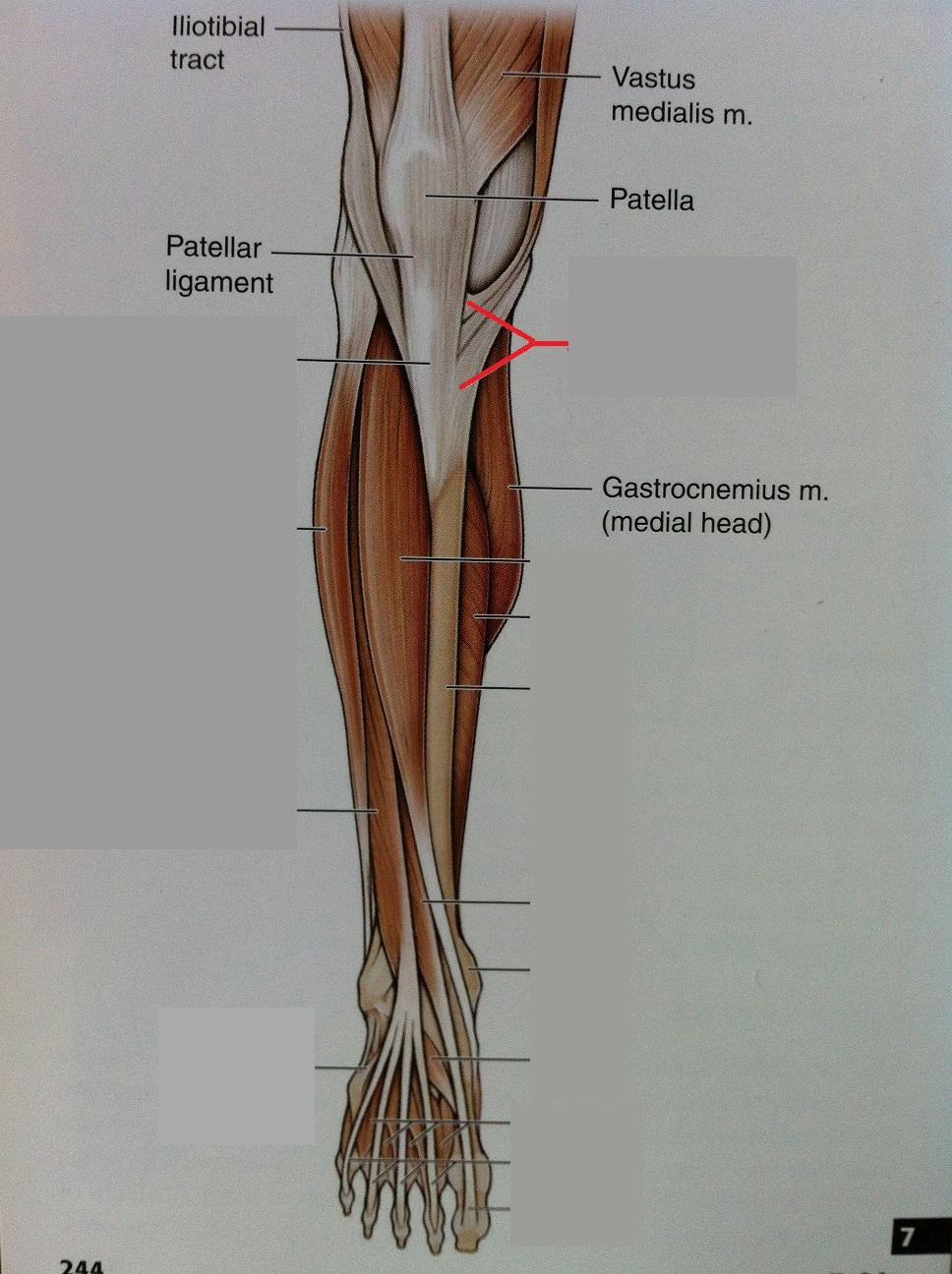 Pes anserine anatomy
