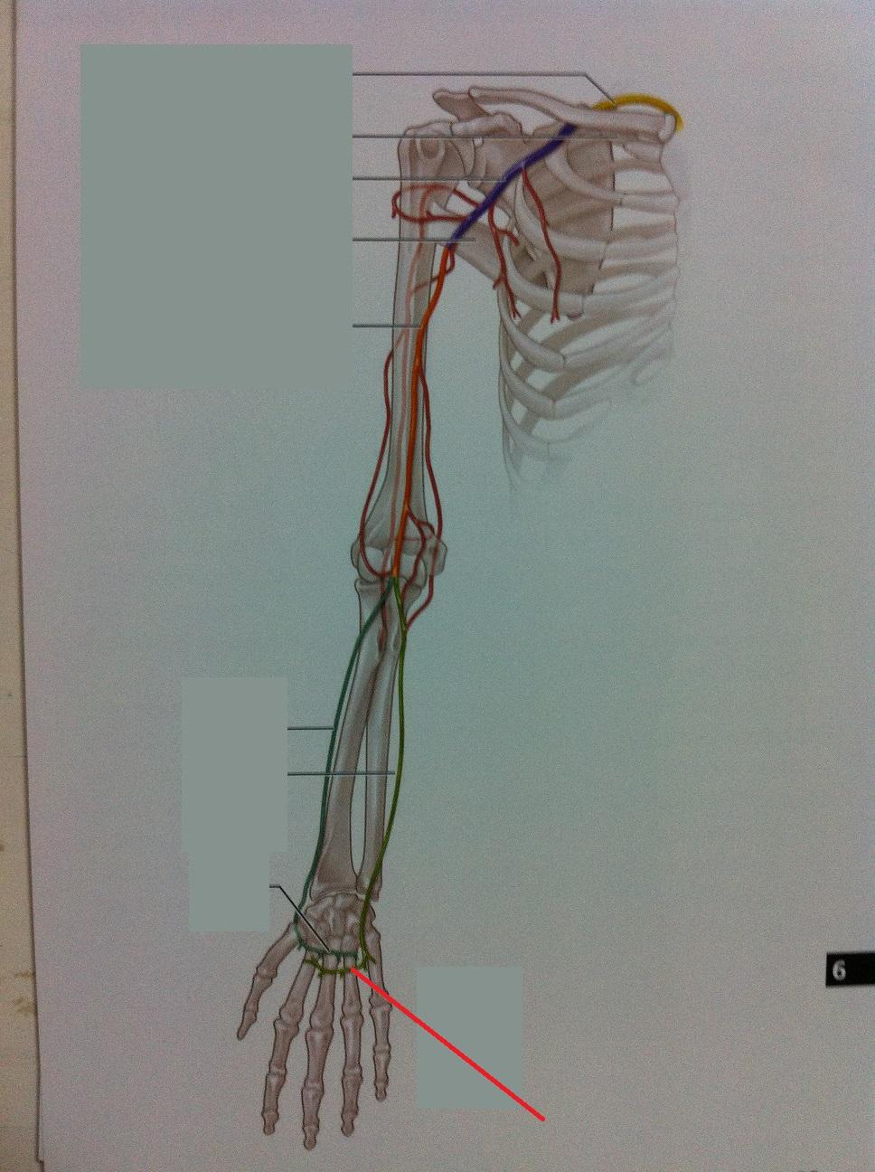 deep palmar artery - HD968×1296
