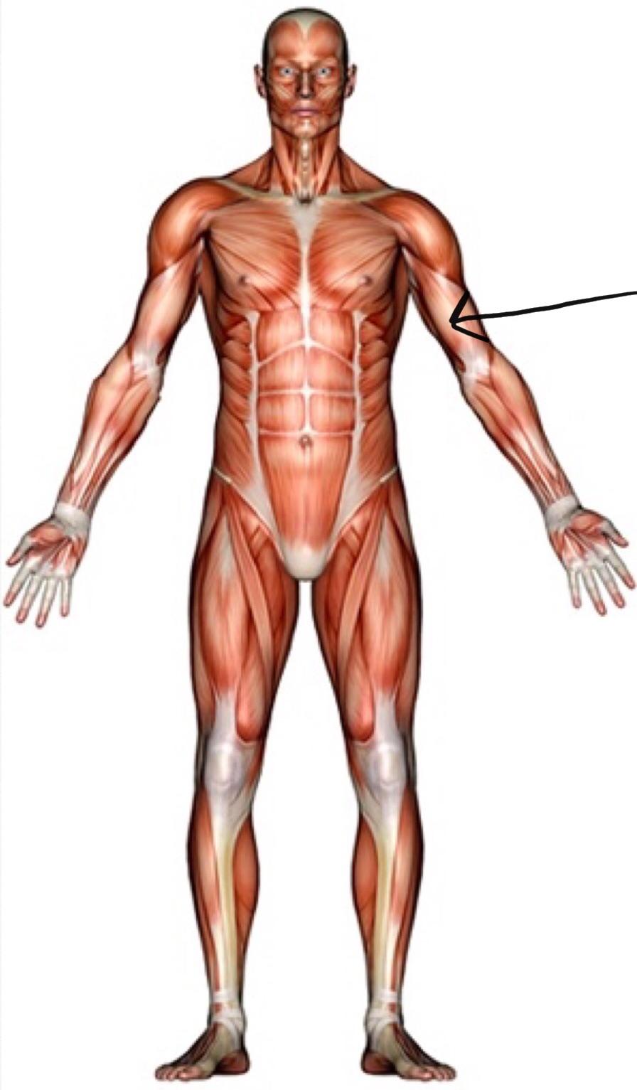 Level 2 Pe The Human Body Memrise
