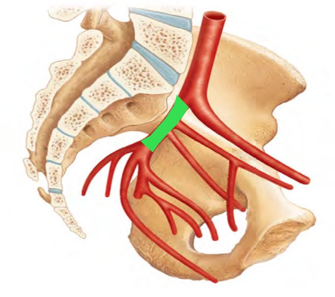 superior gluteal artery