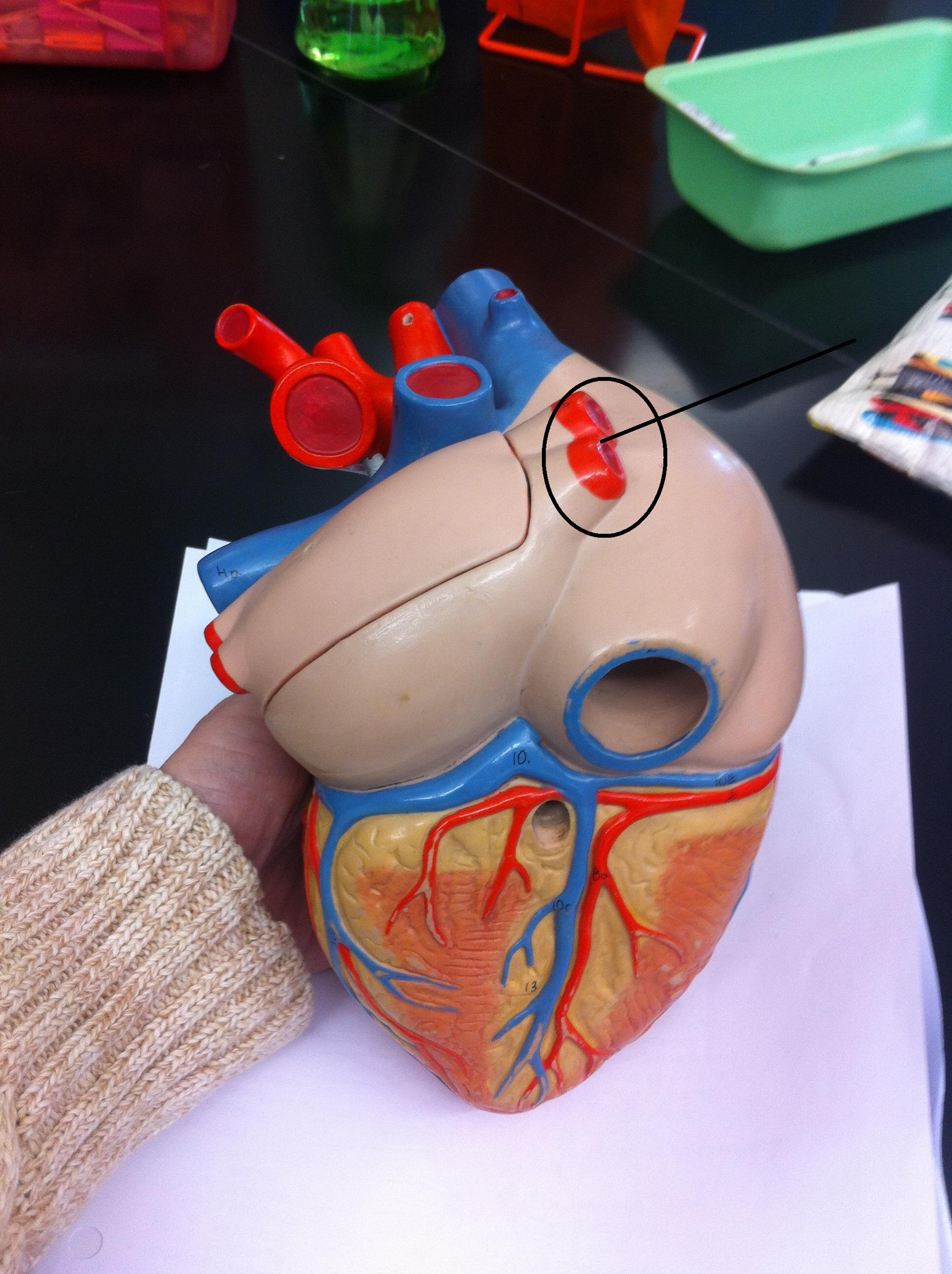 Level 18 - Anatomy and Physiology II - Memrise