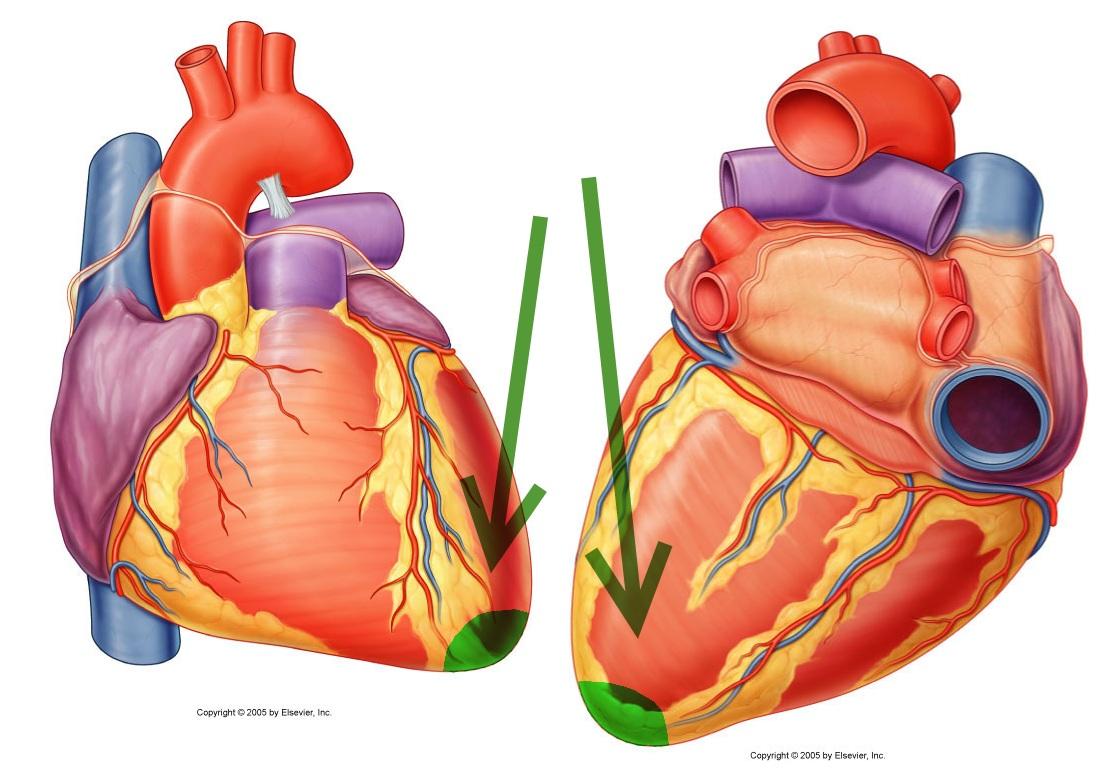 apex heart | info, Cephalic Vein