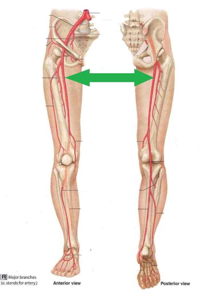 Level 24 - Anatomy and Physiology II - Memrise